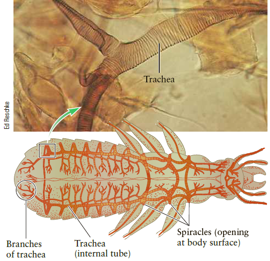 Trachea Spiracles (opening at body surface) Branches of trachea Trachea (internal tube) Ed Reschke